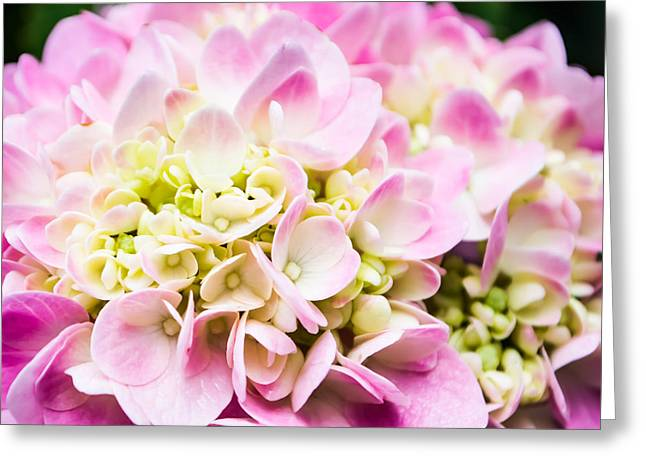 Pinks And Purple Petals Photographs Greeting Cards - Pink Hydrangea in Square Greeting Card by Shelby  Young