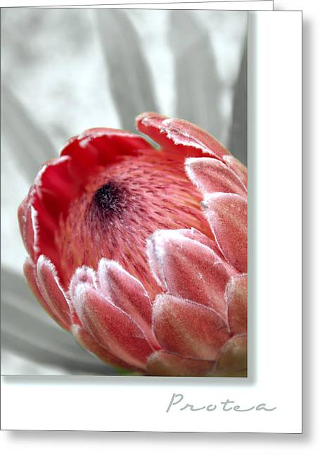 Proteas Greeting Cards - Pink Ice Protea Greeting Card by Holly Kempe