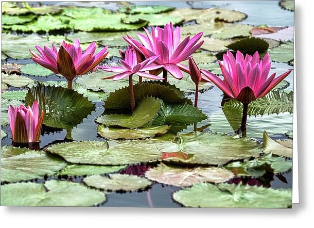 Pink Lotus Blossoms Greeting Card by Marcia Colelli