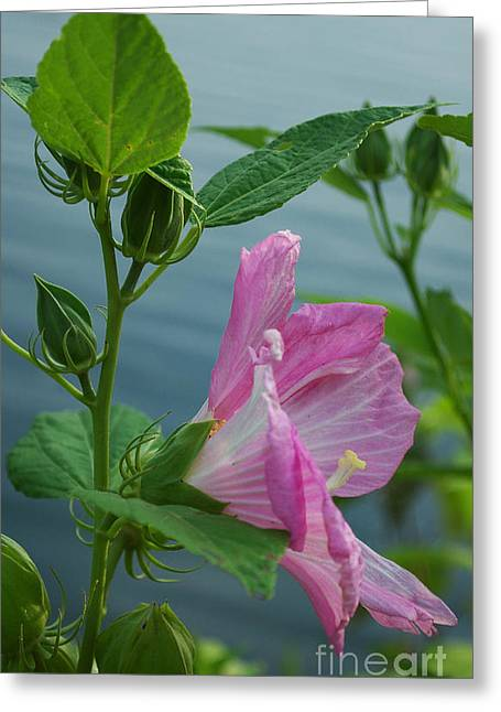 Rose Petals Greeting Cards - Pink Mallow Greeting Card by Skip Willits