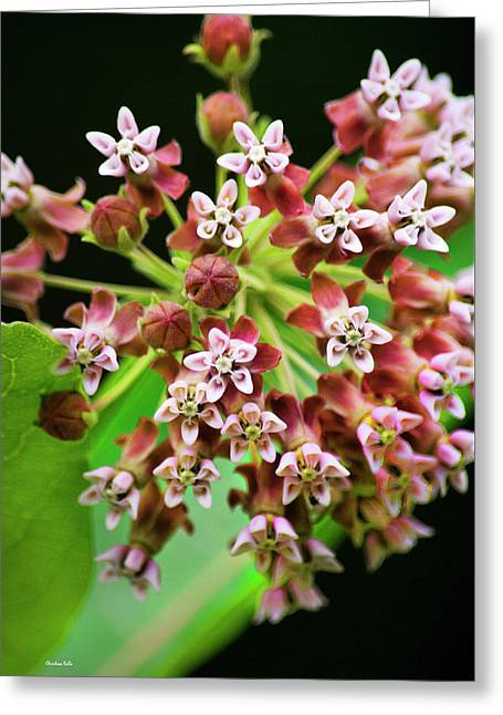 Pink Milkweed Flowers Greeting Card by Christina Rollo