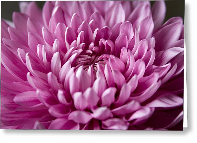 Close Focus Floral Greeting Cards - Pink Mum Greeting Card by Michelle Peplinski