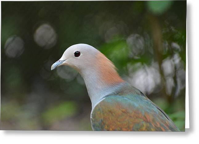 Mangrove Forest Greeting Cards - Pink-necked Green Pigeon 1 Greeting Card by Don Columbus