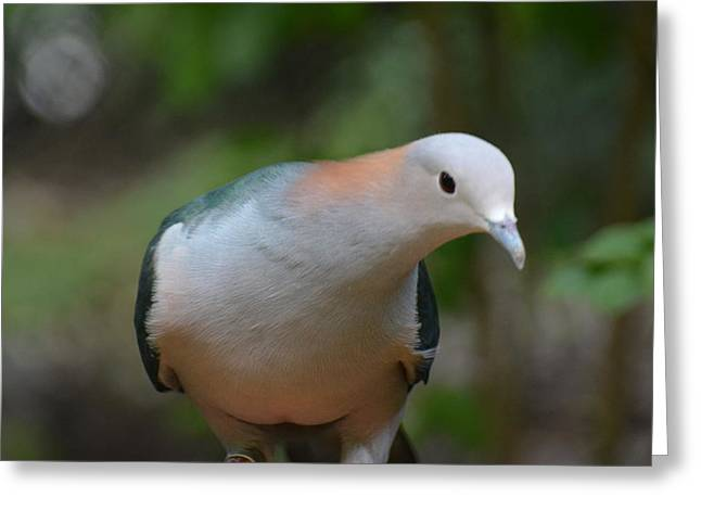 Mangrove Forest Greeting Cards - Pink-necked Green Pigeon 2 Greeting Card by Don Columbus