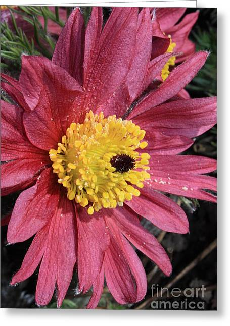 Pink Pasque Flower Greeting Card by Carol Groenen
