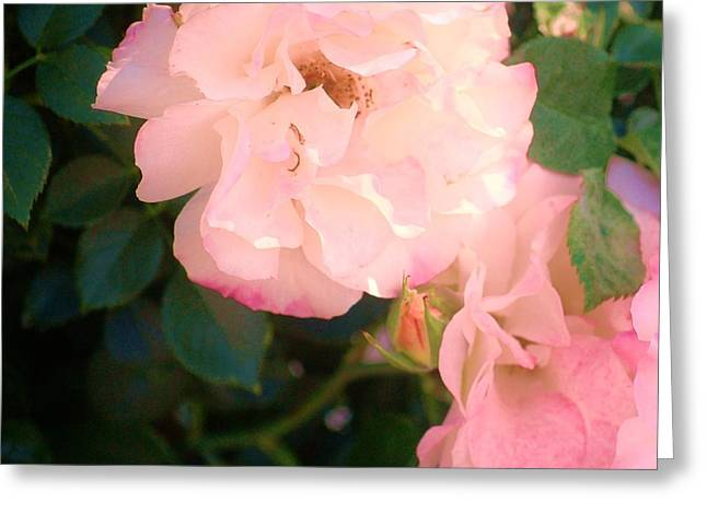 Rosebush Greeting Cards - Pink Passion Greeting Card by Helen Carson