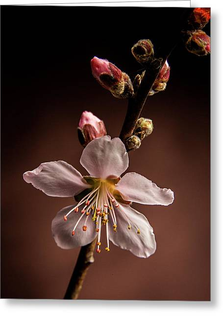 Pink Peach Blooms 5510.02 Greeting Card by M K  Miller