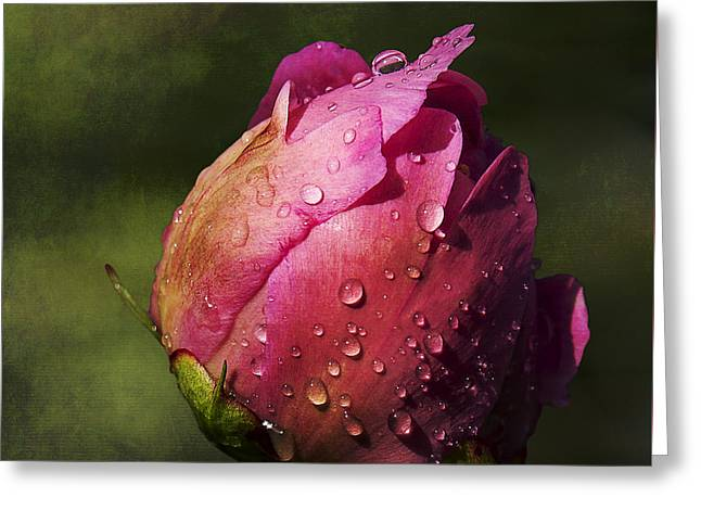 Raining Greeting Cards - Pink Peony Bud with Dew Drops Greeting Card by Patti Deters