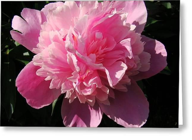 Pink Peony Greeting Card by Sandy Keeton