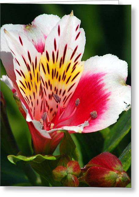 Peruvian Lily Greeting Cards - Pink Peruvian Lily 1 Greeting Card by Amy Fose