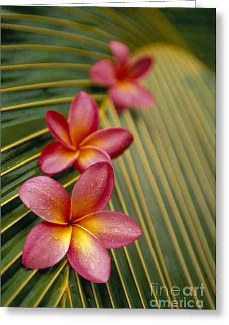 Selective Soft Focus Greeting Cards - Pink Plumeria Greeting Card by Dana Edmunds - Printscapes