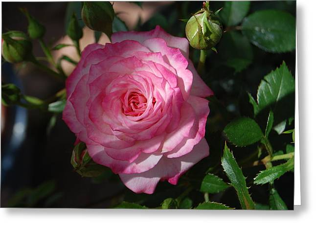 Rosebush Greeting Cards - Pink Pride Greeting Card by Helen Carson