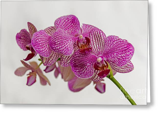 Pinks And Purple Petals Photographs Greeting Cards - Pink Purple Orchid 2 Greeting Card by Willie Harper