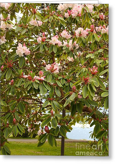 Pink Rhododendrons At Lake Crescent Greeting Card by Carol Groenen