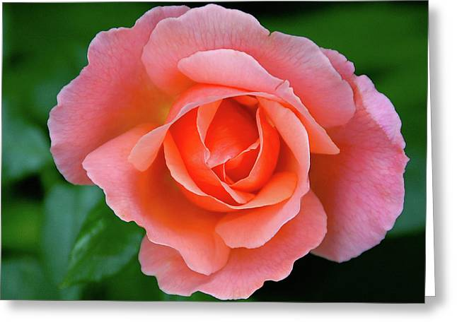 Pink Rose Greeting Card by Graham Taylor