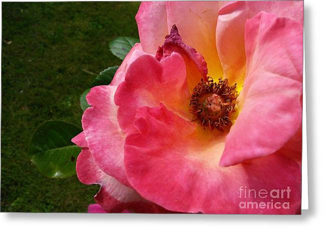 Heart Of The Rose Greeting Cards - Pink Rose Greeting Card by Jennifer Kamadon