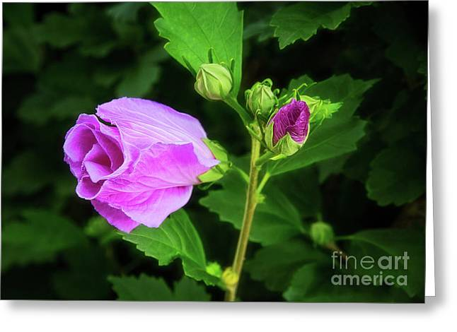 Pink Rose Of Sharon Greeting Card by Sharon McConnell