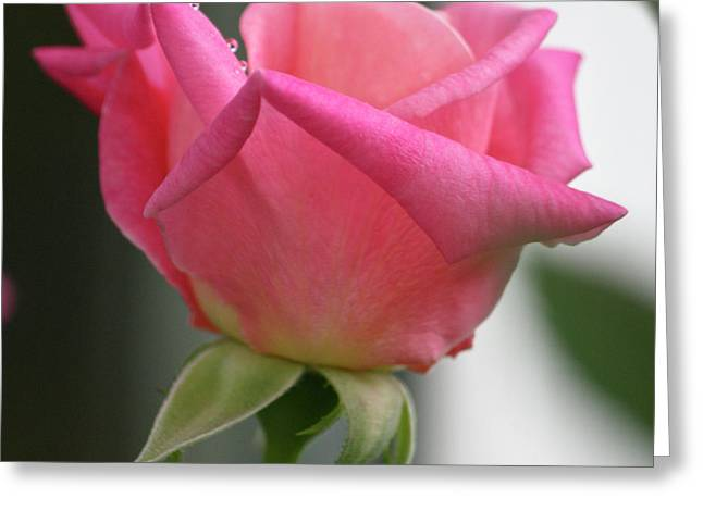 Pink Rose Squared Greeting Card by Teresa Mucha