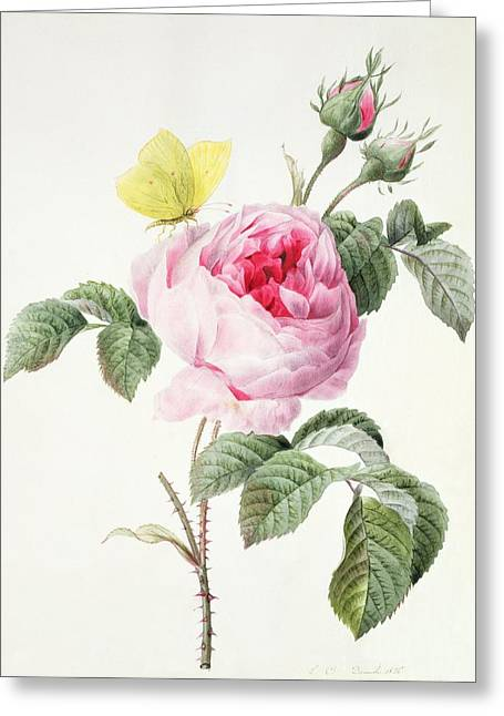 Spring Bulbs Greeting Cards - Pink rose with buds and a brimstone butterfly Greeting Card by Louise DOrleans