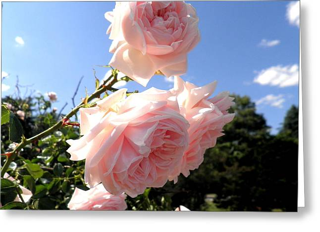 Kate Gallagher Greeting Cards - Pink Roses In The Sky Greeting Card by Kate Gallagher