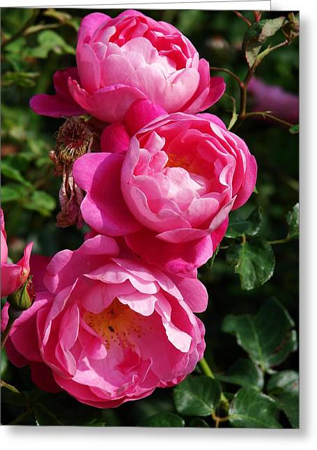 Nicola Butt Greeting Cards - Pink Roses Greeting Card by Nicola Butt
