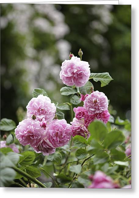 Rosebush Greeting Cards - Pink Roses With Foliage Background Greeting Card by Gillham Studios