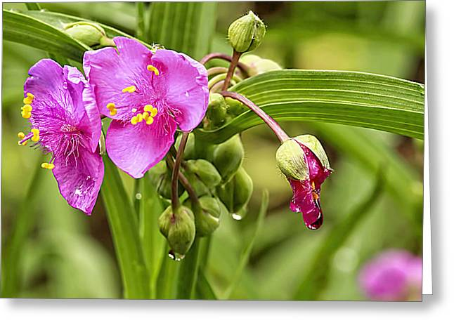 Pink Spiderwort Drip Drops Greeting Card by Geraldine Scull