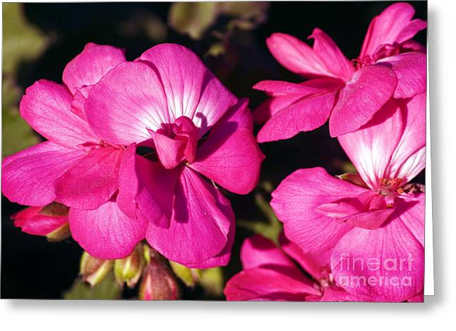 Bruster Greeting Cards - Pink Spring Florals Greeting Card by Clayton Bruster