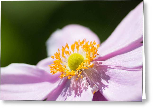 Anemone Greeting Cards - Pink Squared 2 Greeting Card by Rebecca Cozart