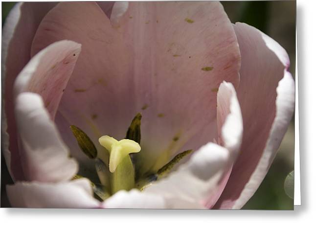 Spring Bulbs Greeting Cards - Pink Tulip Center Squared Greeting Card by Teresa Mucha