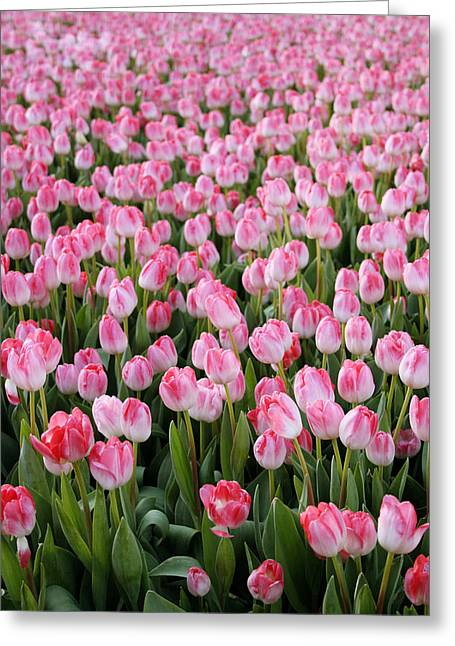 Garden Flowers Photographs Greeting Cards - Pink Tulips- photograph Greeting Card by Linda Woods