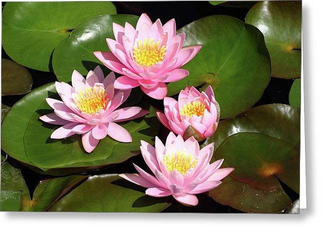 Water Lilly Greeting Cards - Pink Water Lilies Greeting Card by Lou Ford