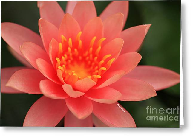 Pink Water Lily Greeting Card by Cheryl Young