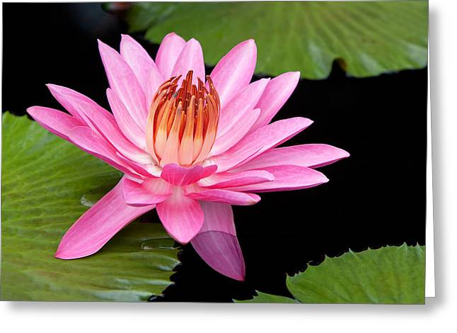 Ly Greeting Cards - Pink Water Lily Longwood Gardens Greeting Card by Binh Ly