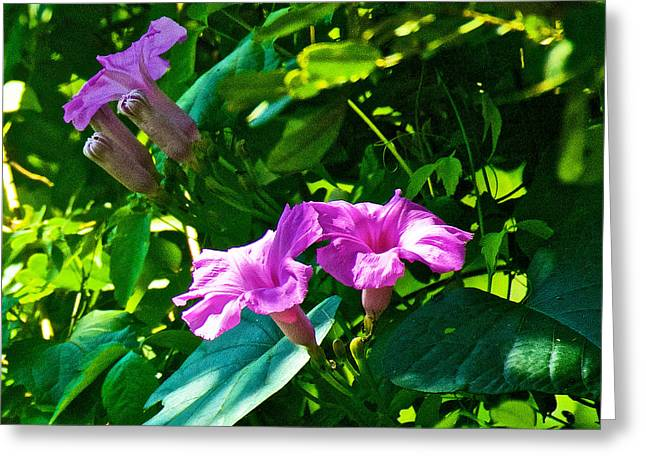 Wildfowers Greeting Cards - Pink Wildfowers in Iguazu Falls National Park-Argentina   Greeting Card by Ruth Hager
