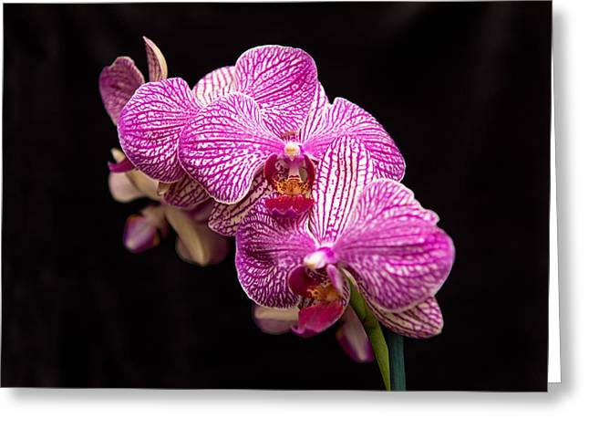 Pinks And Purple Petals Photographs Greeting Cards - Pinkish Purple Orchid 1 Greeting Card by Willie Harper