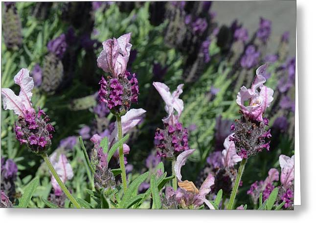 Old Town Temecula Greeting Cards - Pinkish Purple Spanish Lavender Greeting Card by Carla Parris