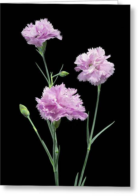 Best Seller Greeting Cards - Pinks on Black Greeting Card by Jon Delorme
