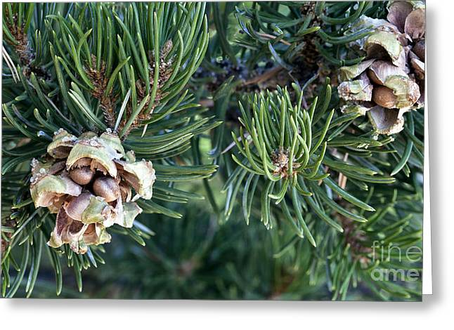 Pine Cones Greeting Cards - Pinyon Pine Cones And Nuts Greeting Card by Inga Spence