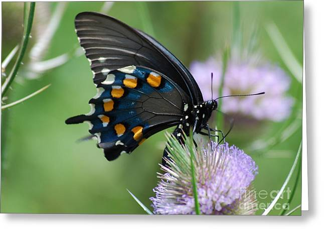 Randolph County Greeting Cards - Pipevine Swallowtail Greeting Card by Randy Bodkins