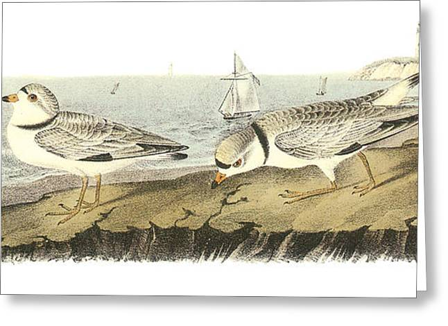 Sea Birds Greeting Cards - Piping Plover Greeting Card by John James Audubon