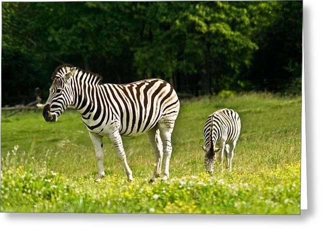 Plains Zebra 1 Greeting Card by Douglas Barnett