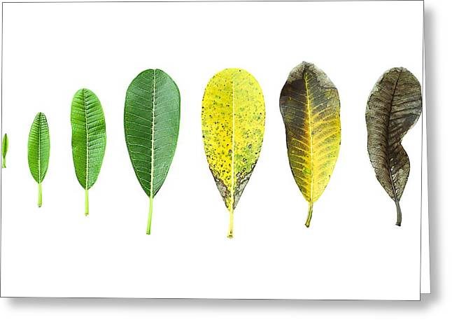 Cut-outs Greeting Cards - Plant leaf Greeting Card by Suwinai Sukanant