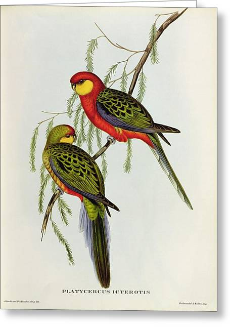 Red Claws Greeting Cards - Platycercus Icterotis Greeting Card by John Gould