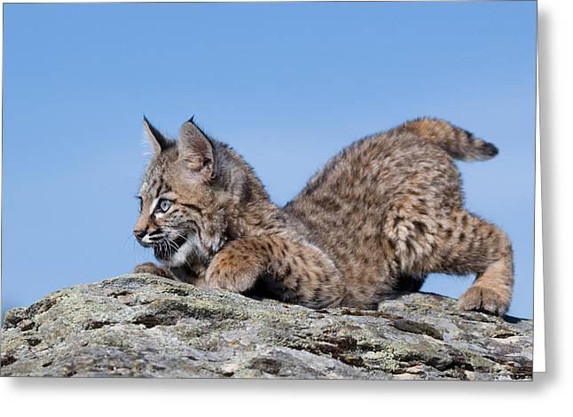 Playful Bobcat Kitten Greeting Card by Paul Burwell