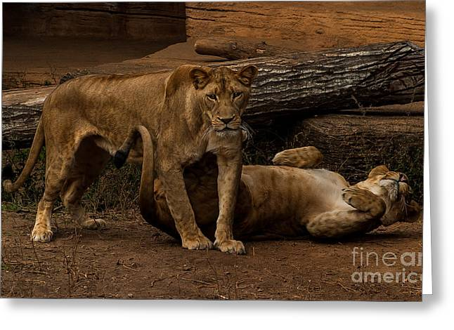 Lioness Greeting Cards - Playful Lions Greeting Card by Alicia Collins