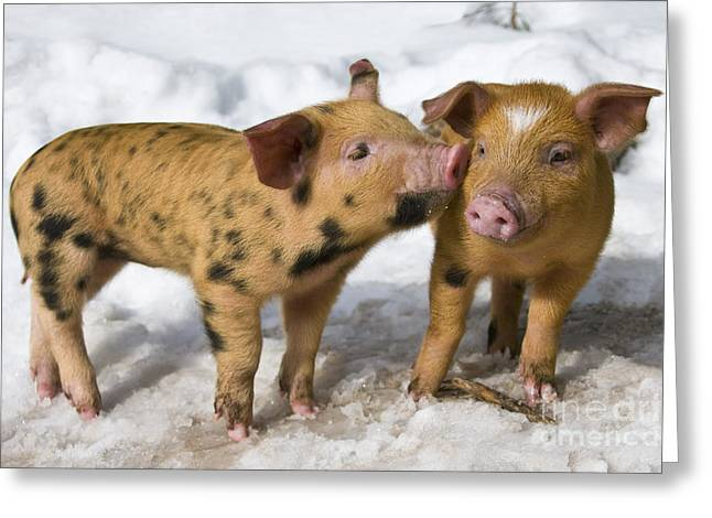 Piglets Greeting Cards - Playful Piglets Greeting Card by Jean-Louis Klein & Marie-Luce Hubert