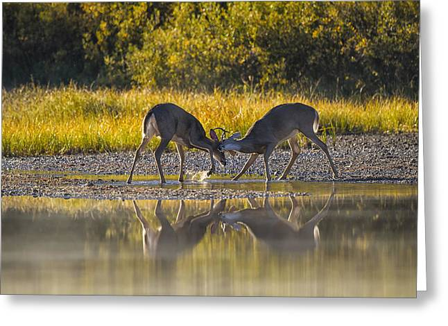 Rut Greeting Cards - Playful Young Bucks Greeting Card by Mark Kiver