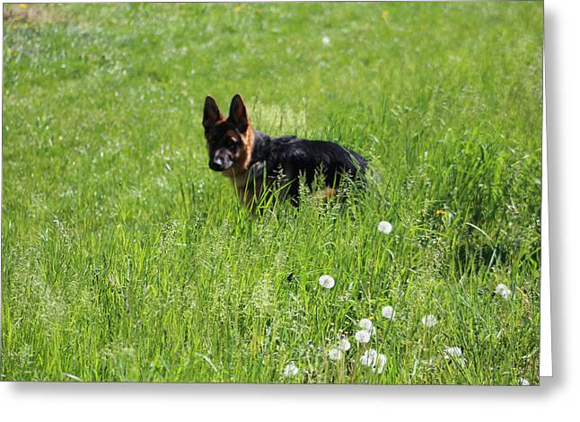 Puppies Photographs Greeting Cards - Playing in the Grass Greeting Card by Dylan Muckey