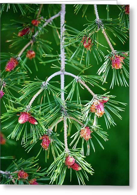 Plentiful Greeting Cards - Plentiful Pine Greeting Card by Marilyn Hunt